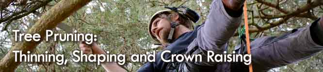 Mark Foster Glasgow Tree surgeon - Tree pruning, thinning and crown raising